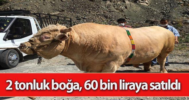 2 tonluk boğa, 60 bin liraya satıldı