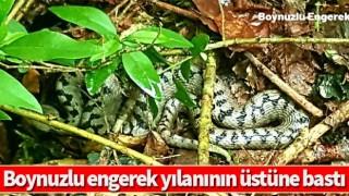 Boynuzlu engerek yılanının üstüne bastı