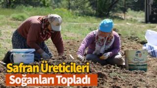 Safran üreticileri, soğanları topladı